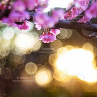 桜のクローズアップの写真・画像素材[3086270]