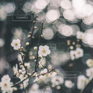 梅のクローズアップの写真・画像素材[3086274]