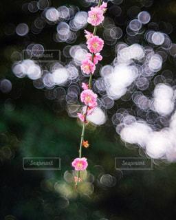 梅のクローズアップの写真・画像素材[3086277]
