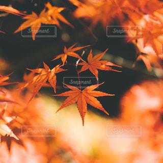 紅葉のクローズアップの写真・画像素材[3086283]