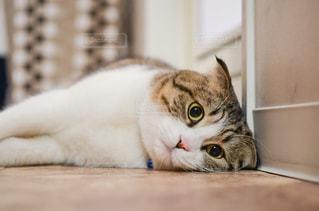 白い表面に横たわっている猫の写真・画像素材[3233426]