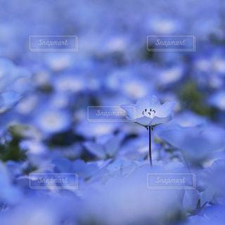 ネモフィラの写真・画像素材[3233732]
