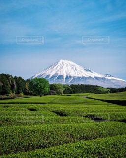 富士山と茶畑の写真・画像素材[3233733]