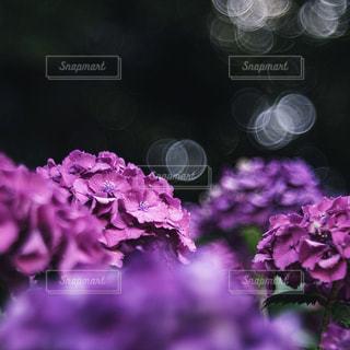 紫陽花の写真・画像素材[3233734]