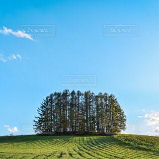 美瑛第二マイルドセブンの木の写真・画像素材[3233736]