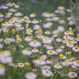 野原の黄色い花の写真・画像素材[3233735]
