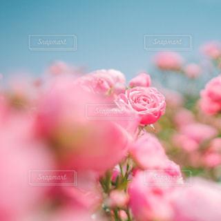 春薔薇の写真・画像素材[3233738]