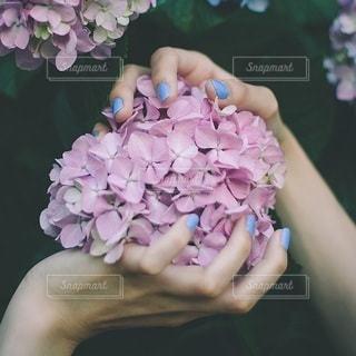 紫陽花の写真・画像素材[3283269]