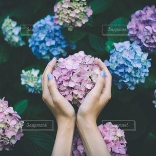 紫陽花の写真・画像素材[3283270]