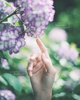 紫陽花の写真・画像素材[3283272]