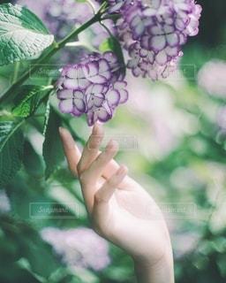 紫陽花の写真・画像素材[3283273]