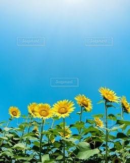 向日葵の写真・画像素材[3605369]