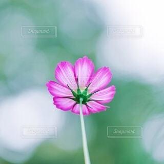 ピンクコスモスの写真・画像素材[3711330]