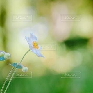 秋明菊の写真・画像素材[3711334]