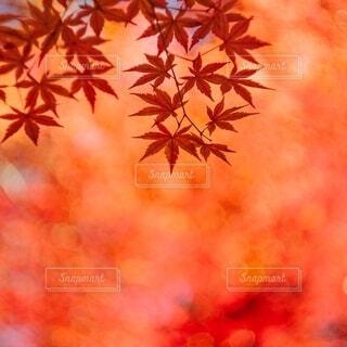 赤く燃ゆるカエデの写真・画像素材[3980467]