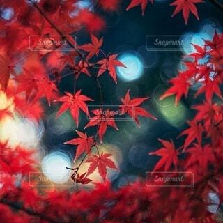 真っ赤なカエデの写真・画像素材[3980473]