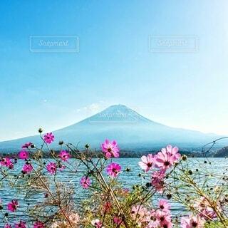 富士山とコスモスの写真・画像素材[3980492]