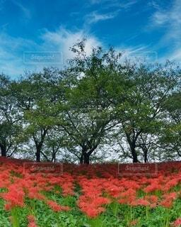 彼岸花が咲いているフィールドの写真・画像素材[3980495]