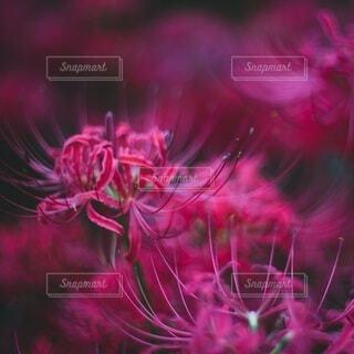 神秘的な彼岸花の写真・画像素材[3980489]