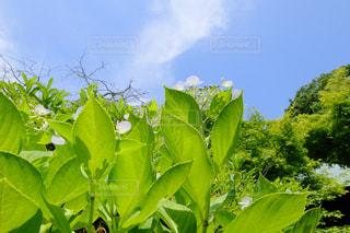 紫陽花の写真・画像素材[547154]