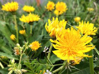 黄色の花の写真・画像素材[1133884]