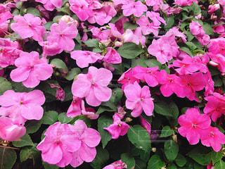 近くにピンクの花の束のアップの写真・画像素材[1287418]