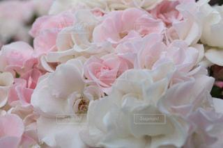 花の写真・画像素材[504107]