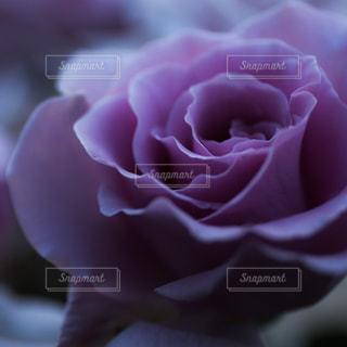 花の写真・画像素材[504108]