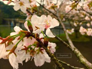 春 - No.424111