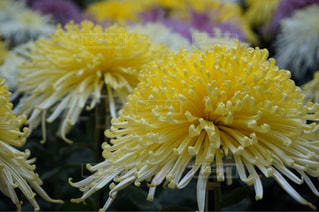 菊の写真・画像素材[288580]