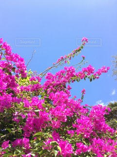 沖縄の花ブーゲンビリアの写真・画像素材[1013342]