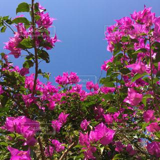 沖縄の花ブーゲンビリアの写真・画像素材[1013344]
