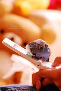 鳥,とり,セキセイインコ,小鳥,セキセイ,携帯電話,ケータイ,ことり
