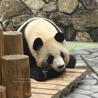 パンダの写真・画像素材[1103817]