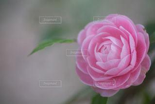 花の写真・画像素材[8425]
