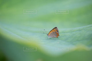 葉っぱ,小さい,虫,昆虫,羽