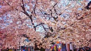 春の写真・画像素材[316526]