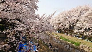 野川の桜の写真・画像素材[2011494]