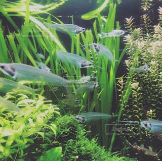 水族館の小魚の写真・画像素材[1729760]