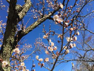 梅の写真・画像素材[336227]