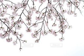 春の写真・画像素材[10817]