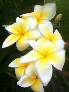 花の写真・画像素材[296376]