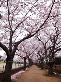 桜の写真・画像素材[339719]