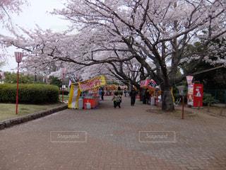 桜の写真・画像素材[339720]