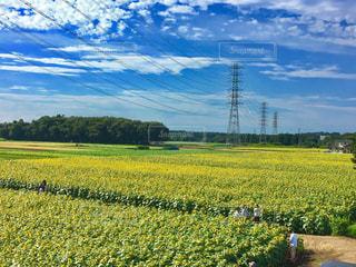 ひまわり畑 - No.700862