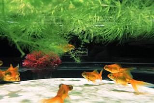 魚の写真・画像素材[300873]