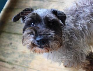 犬の瞳にの写真・画像素材[1053621]