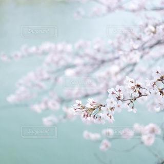 桜の写真・画像素材[1878575]