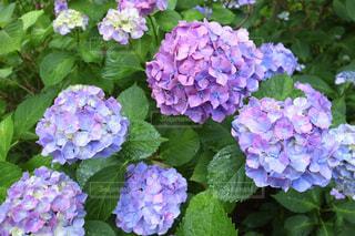 紫陽花の写真・画像素材[3329694]