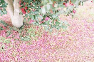 花びらの絨毯の写真・画像素材[3329712]